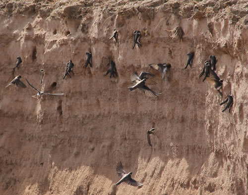 The first Sand Martins made nests three weeks after construction.