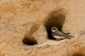 A Sand Martin in its entrance way. Photograph courtesy of the photographer Ben Hall and the RSPB