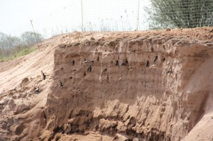 The sand martins using the artificial sand bank on the RSPB Langford Lowfields site.