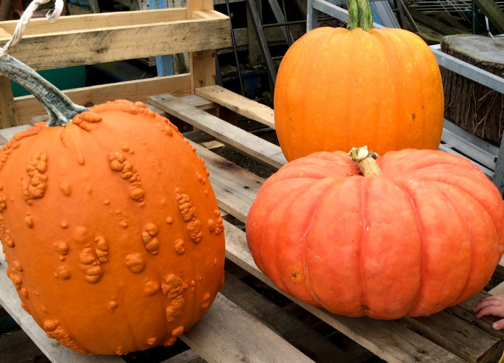 Pumpkins ready for a pumpkin carver