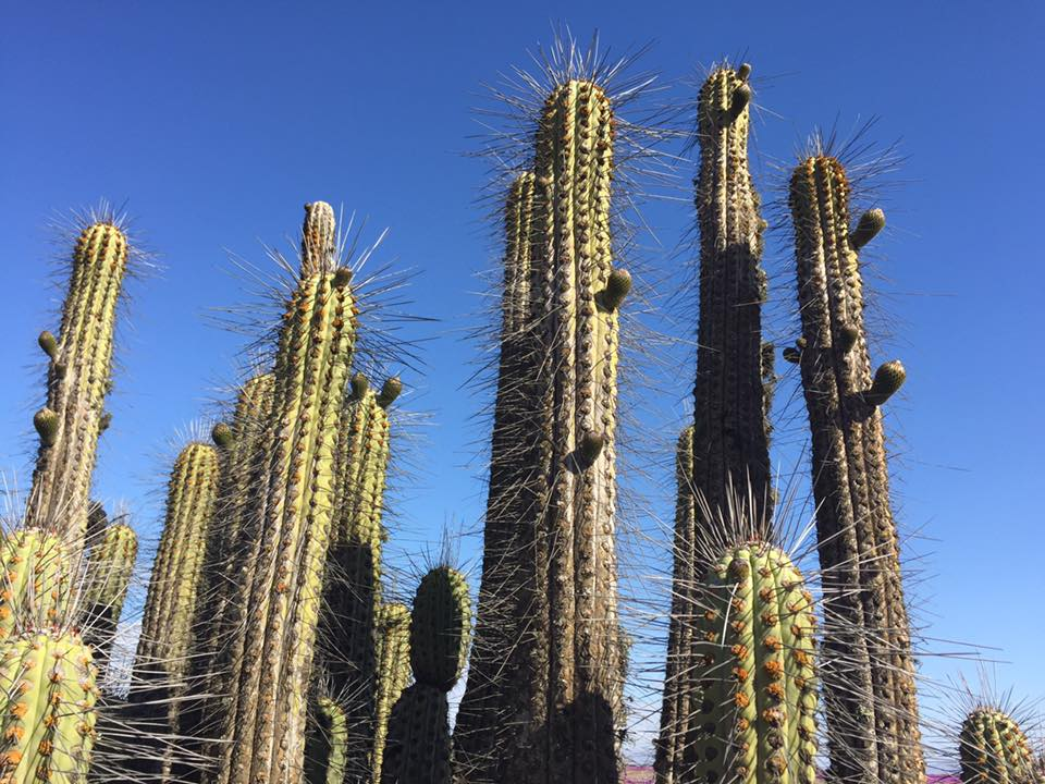 giant_catus_chile